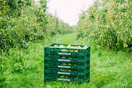 Pear grower